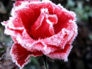 обои В инее красная роза фото