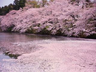 обои Цветущая весенняя сакура над прудом фото