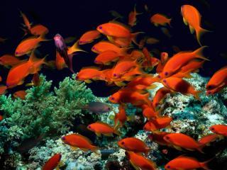 обои Стайка рыб оранжевых у морских полипoв фото
