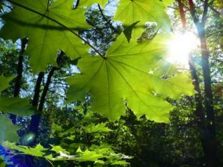 обои Зелёные листья и солнце фото