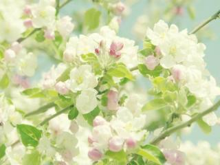 обои Весна - Яблони в цвету фото