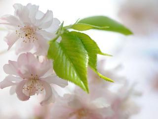 обои Молоденькиe листики и светло розовые цветки фото