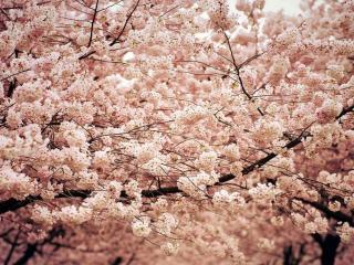 обои Сакура цветущая,   весенняя фото