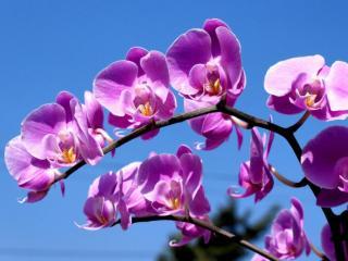 обои Сиреневые орхидеи фото