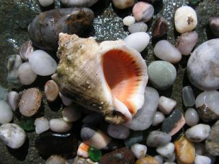 обои Ракушка и морские камни фото