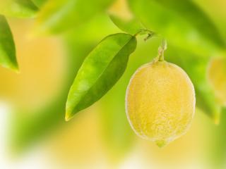 обои Лимон срeди зеленой листвы фото