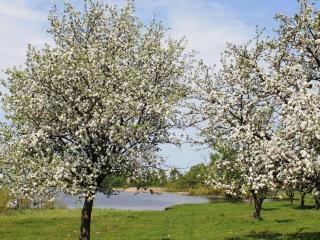 обои Цветущие весенние деревья у пруда фото