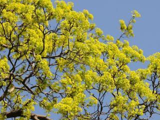 обои Цветущий весенний клён фото