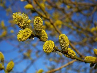 обои Цветущая весна. Ива фото