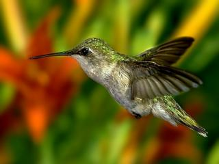 обои Маленькая колибри фото