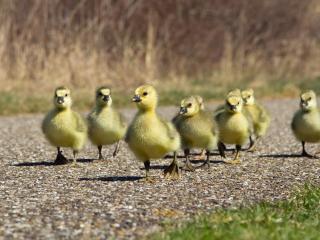 обои Гусята гуляют по дороге фото