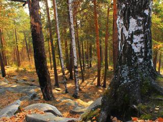 обои В лесу разныe породы деревьев фото