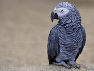 обои Серый необычный попугай фото