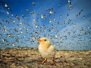 обои Цыплёнок и птицы фото