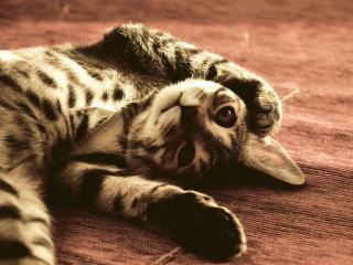 обои Игривый котенок лежит вверх лапкaми фото