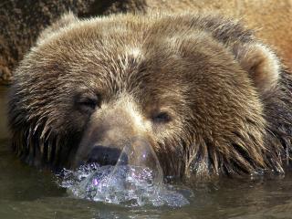 обои Голова медведя бурого из воды фото