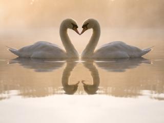 обои Парочка влюбленных лебедей фото