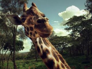 обои Любопытный жираф на фоне деревьев фото