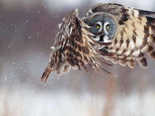 обои Большая сова в полете фото