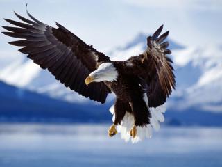 обои Полет белоголового орла фото