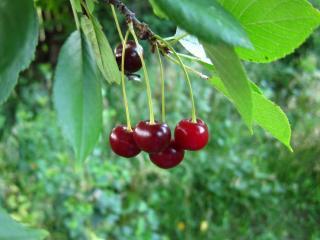 обои В вишневом саду фото
