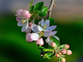 обои Веточка яблоньки весенней фото
