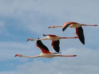 обои Три фламинго в полете фото