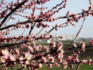 обои Цветут абрикосы фото