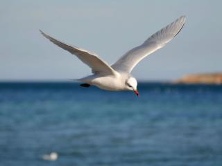 обои Чайка белая над синем морем фото