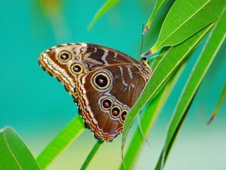 обои Бабочка Морфо фото