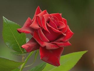 обои Бархатный Роз фото