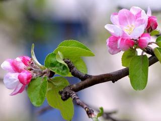 обои Вот и яблоня зацвела фото