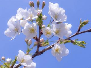 обои Белый цвет весенний фото
