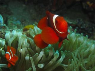 обои Красные рыбки с белым воротничком фото