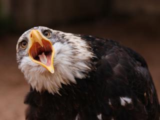 обои Открытый клюв орла фото