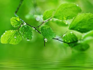 обои Веткa зеленых листьев в каплях фото