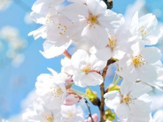 обои Белоснежная весна фото