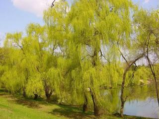 обои Весенние ивы у пруда фото