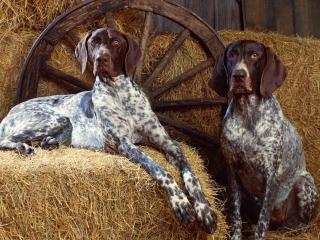 обои Две большие собаки фото