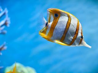 обои Полосатая рыбка фото