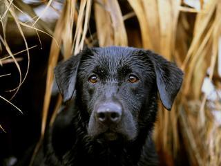 обои Черный пес фото