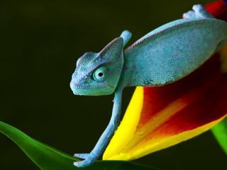 обои Голубой хамелеон на цветке фото