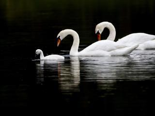 обои Лебединная семья на озере фото