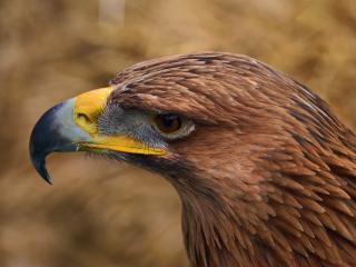 обои Желтоклювый орел фото