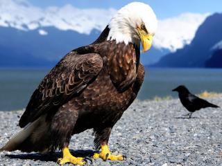 обои Огромный орел на берегу озера фото