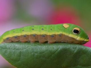 обои Зеленая гусеница крупным планом фото