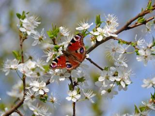 обои Бабочка на цветущей вишне фото