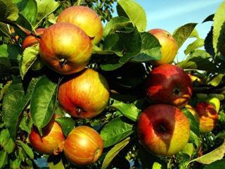 обои Ветка яблони фото