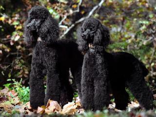 обои Два черных пуделя фото