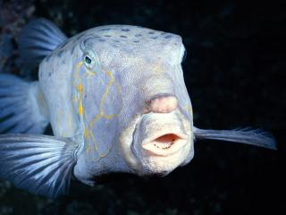 обои Белая рыба с желтыми зубами фото